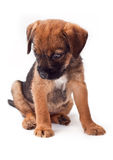 Border terrier puppy looks interestingly Stock Photography