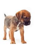 Border terrier puppy stands calmly Stock Photos