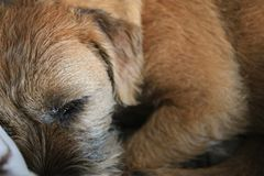 Border terrier in scene close up royalty free stock photos