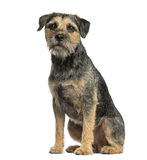 Border terrier sitting. In front of a white background Royalty Free Stock Photography