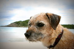 Border Terrier am Strand Lizenzfreies Stockbild