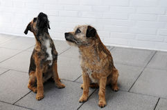Border terrier. Two border terrier waiting  longingly for their dog biscuits Stock Photos