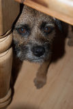 Border Terrier Underneath Table Stock Photo