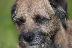 Border Terrier-vorderes links Stockfotos