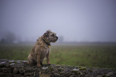 Border Terrier on wall Royalty Free Stock Photos