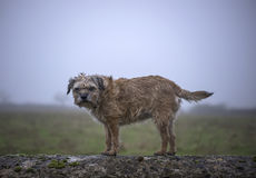 Border Terrier Stock Photos
