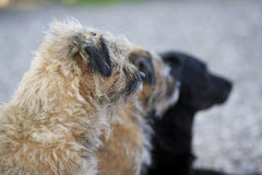 Border terriers and labrador Royalty Free Stock Image