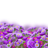 Border of violet aster flowers Royalty Free Stock Photos