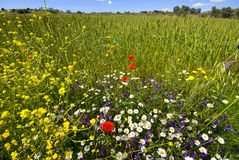 Border of wheat field with wild flowers. Border of a whea tfield showing the lush and abundant growth of wild flowers just out of reach of the herbicides.  Many Stock Photos