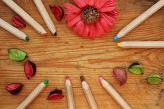 Border of wooden pencils, dry petals and chrysanthemum flower on brown wood background. Top view. Border of wooden pencils some dry red and green petals and Stock Image