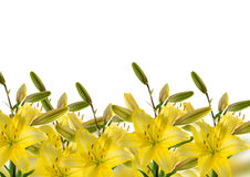 Border with yellow lilies Stock Photo