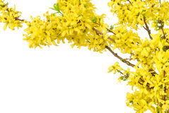 Border of yellow spring blossoms Royalty Free Stock Photo