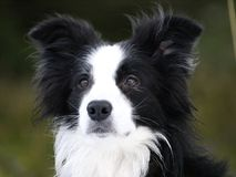 Bordercollie Stockfotografie