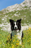 Bordercollie Royalty Free Stock Images
