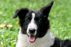 Bordercollie royalty-vrije stock fotografie