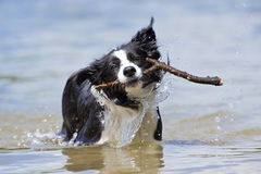 Bordercollie Royalty Free Stock Photo