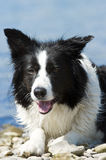 Bordercollie Royalty Free Stock Image