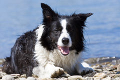 Bordercollie Stock Images