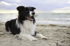 Bordercollie on the beach Stock Images