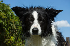 Bordercollie Royalty Free Stock Photos