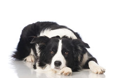 Bordercollie dog Stock Images