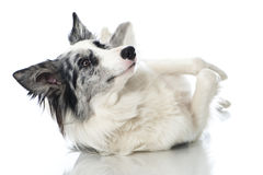 Bordercollie dog Stock Photos