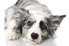Bordercollie dog Royalty Free Stock Photos