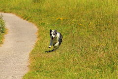 A  bordercollie dog who runs near a path in the grass of a merry air Stock Images