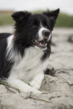 Bordercollie sur la plage Photos libres de droits