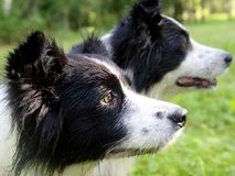 Bordercollies. Two bordercollies looking in one direction Royalty Free Stock Photography