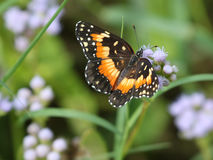 Bordered Patch Butterfly on Blue Mistflower. A Bordered Patch butterfly Chlosyne lacinia on Blue Mistflower Royalty Free Stock Images