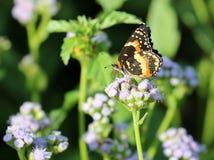 Bordered Patch Butterfly on Blue Mistflowers. A Bordered Patch butterfly Chlosyne lacinia on Blue Mistflowers Stock Image
