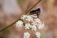 Bordered Patch Butterfly sitting on Flower. Hungary Stock Photos