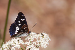 Bordered Patch Butterfly sitting on Flower, Hungary. Europe Royalty Free Stock Images