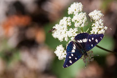 Bordered Patch Butterfly sitting on Flower, Hungary. Europe Royalty Free Stock Photography