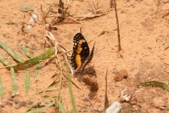Bordered Patch Butterlfy. A bordered patch butterfly taking a rest on a warm Texas morning Royalty Free Stock Photo