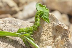 Bordered Straw Moth Larva Chewing on a Leaf stock photos