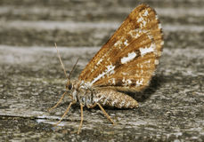 Bordered White Moth. Bupalus piniaria Royalty Free Stock Photography