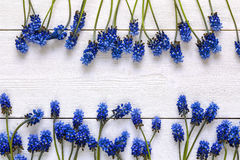 Borders of blue muscaries flowers on white wooden background. Pl royalty free stock photos