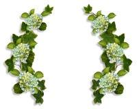 borders vanlig hortensiamurgrönaen Royaltyfri Foto