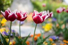 borders vita röda tulpan royaltyfri fotografi