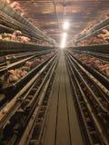 Bordi del pollame del bestiame di azienda agricola delle gabbie di uccelli dei polli Fotografia Stock Libera da Diritti
