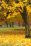 Bordo amarelo, outono Fotos de Stock Royalty Free