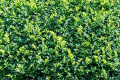 Bordo approssimativo siamese del contesto del cespuglio con le foglie verdi immagine stock