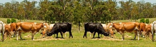 Bordo australiano della mucca dei bovini da carne Fotografie Stock