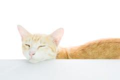 Bordo in bianco del manifesto del gatto isolato Fotografie Stock Libere da Diritti