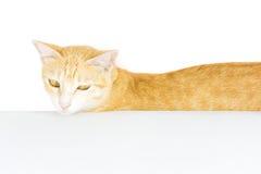 Bordo in bianco del manifesto del gatto isolato Fotografie Stock