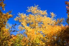 Bordo da laranja do amarelo do céu azul das folhas de bordo do outono fotografia de stock