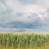 Bordo del giacimento di grano in primavera con le nuvole Immagini Stock Libere da Diritti