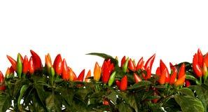 Bordo del peperoncino rosso Immagini Stock